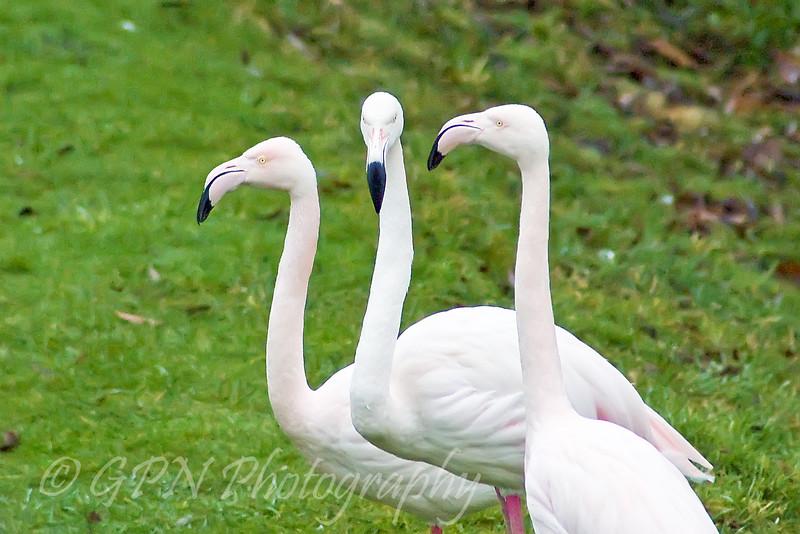 The Three Wise Flamingos!