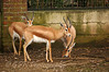 Dorcas Gazelle