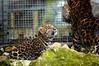 Amur Leopard Cub & Mum