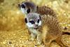 Meekat kittens