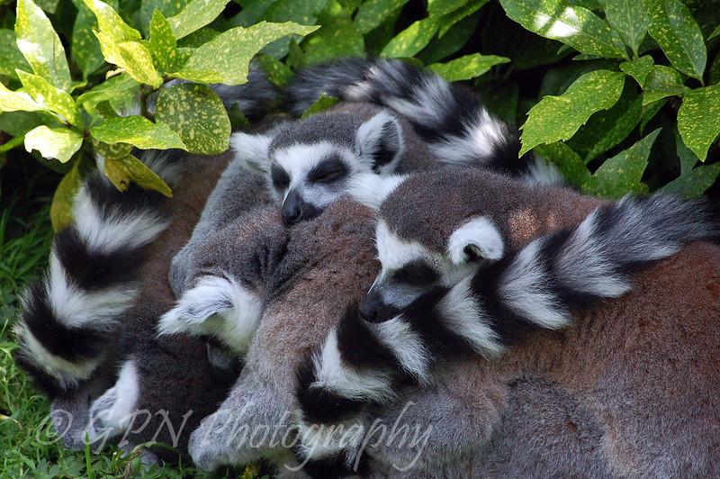 Lemurs Sleeping