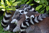 Lemurs Sleeping