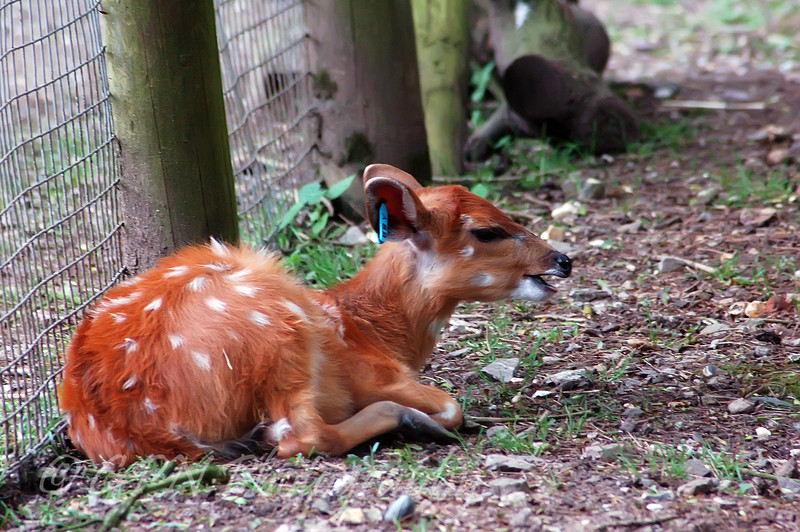 Baby Sitatunga Deer