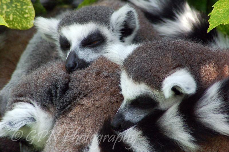 Sleeping Lemurs