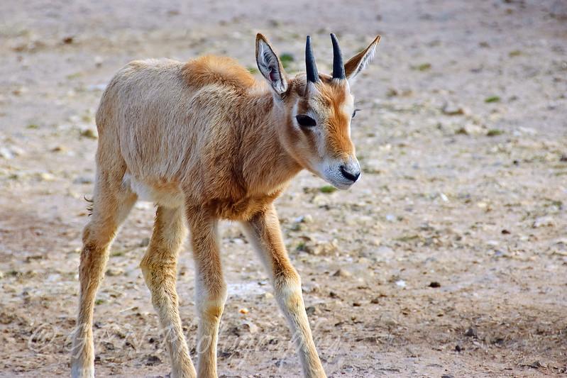 Scimitar-Horned Oryx foal