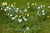 Daffodils at Marwell Zoo