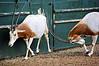 Scimitar-Horned Oryx fighting