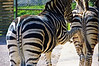 Zebra kicking