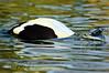 Eider Duck diving