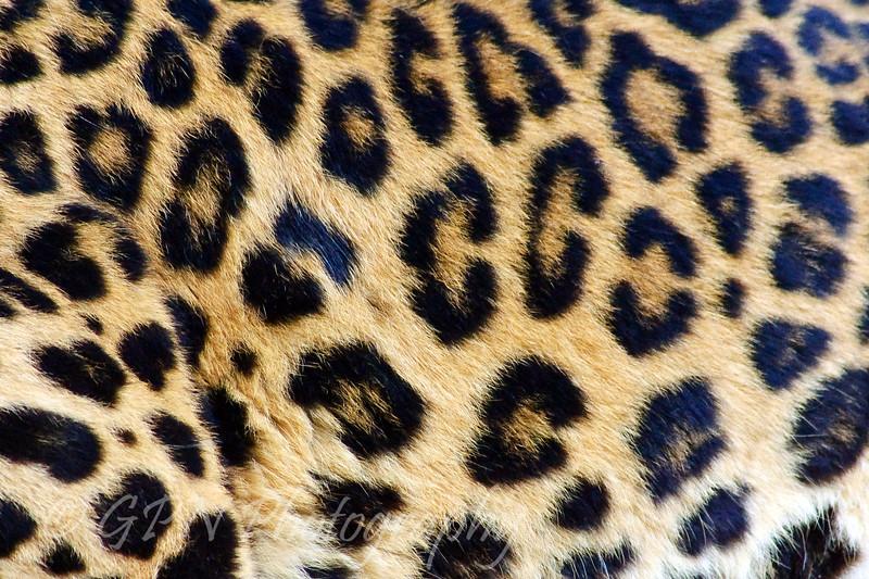 Patterns on the Amur Leopard