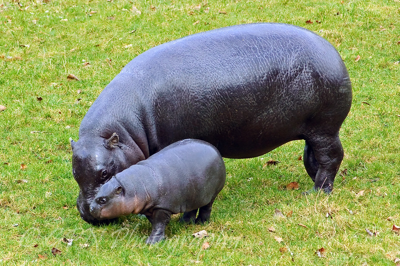Lola the baby Pygmy Hippo with mum