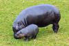 Lola the baby Pygmy Hippo with mum