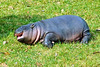 Lola the baby Pygmy Hippo