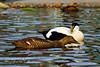 Male & Female Eider Ducks