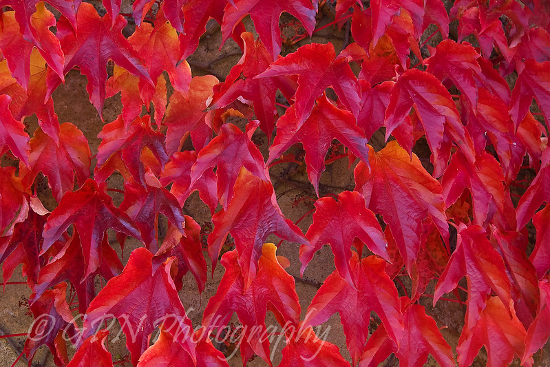 Autumn Ivy on Marwell House
