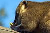 Ring Tailed Coati