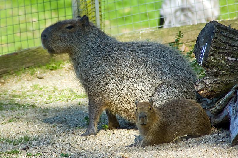 Capybara & Baby