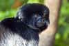 Goeldis Monkey