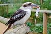 Kookaburra feeding