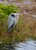 Great Blue Heron - Merritt Island National Wildlife Refuge - December 2007