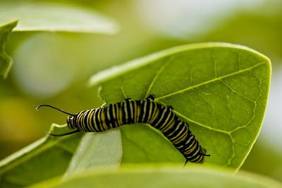 Monarch Caterpillar  Dinner upside down on a Crown Flower leaf  February 2008, North Shore of O'ahu, Hawai'i species Danaus plexippus