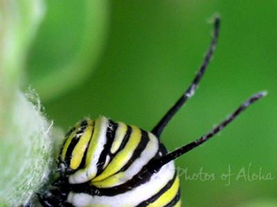 Monarch caterpillar's head species Danaus plexippus