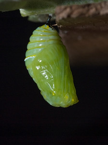 1:45:036   In the pupa or chrysalis stage, the caterpillar spins a silk pad on a twig, leaf, etc, and hangs from this pad by its last pair of prolegs. It hangs upside down in the shape of a 'J', and then molts, leaving itself encased in an articulated green exoskeleton. At this point, hormonal changes occur, leading to the development of a butterfly. The chrysalis darkens (actually becomes transparent) a day before it emerges, and its orange and black wings can be seen.species Danaus plexippus