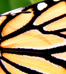 Monarch butterfly's outer side of a wing with a bit of its antenna species Danaus plexippus