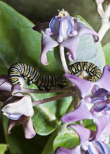 2 Monarch Caterpillars  Dinner on a Crown Flower  February 2008, North Shore of O'ahu, Hawai'i species Danaus plexippus