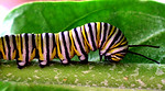 Monarch caterpillar A caterpillar has eight pair of legs. The first three pair of legs will later become the butterfly's legs species Danaus plexippus