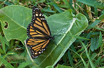 Monarchs can live a life of twenty to eighty weeks in a garden having their host Asclepias plants and sufficient flowers for nectar. 
