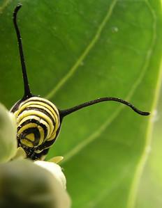 Monarch caterpillar busily munching species Danaus plexippus