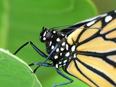Monarch  butterfly on a crown flower leaf species Danaus plexippus