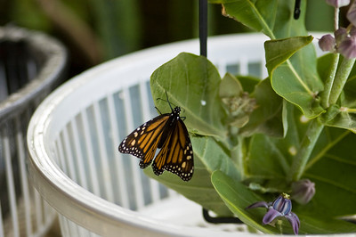 Monarchs can live a life of twenty to eighty weeks in a garden having their host Asclepias plants and sufficient flowers for nectar. species Danaus plexippus