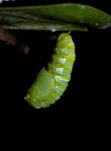 1:43:105   In the pupa or chrysalis stage, the caterpillar spins a silk pad on a twig, leaf, etc, and hangs from this pad by its last pair of prolegs. It hangs upside down in the shape of a 'J', and then molts, leaving itself encased in an articulated green exoskeleton. At this point, hormonal changes occur, leading to the development of a butterfly. The chrysalis darkens (actually becomes transparent) a day before it emerges, and its orange and black wings can be seen.species Danaus plexippus