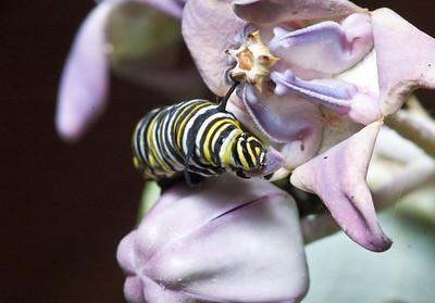 Monarch Caterpillar  Dinner on a Crown Flower  February 2008, North Shore of O'ahu, Hawai'i species Danaus plexippus