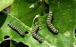 Monarch caterpillarsThree to six days after the eggs are deposited, they will hatch. Immediately after hatching, the caterpillar is so small it can barely be seen. It grows very fast though, ...