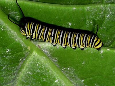 Monarch caterpillar crawling on a leaf of a crown flower tree species Danaus plexippus