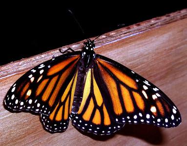 Monarch butterfly lands on a piece of wood species Danaus plexippus
