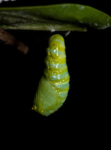 1:43:003    In the pupa or chrysalis stage, the caterpillar spins a silk pad on a twig, leaf, etc, and hangs from this pad by its last pair of prolegs. It hangs upside down in the shape of a 'J', and then molts, leaving itself encased in an articulated green exoskeleton. At this point, hormonal changes occur, leading to the development of a butterfly. The chrysalis darkens (actually becomes transparent) a day before it emerges, and its orange and black wings can be seen.species Danaus plexippus