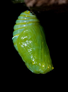 1:44:925    In the pupa or chrysalis stage, the caterpillar spins a silk pad on a twig, leaf, etc, and hangs from this pad by its last pair of prolegs. It hangs upside down in the shape of a 'J', and then molts, leaving itself encased in an articulated green exoskeleton. At this point, hormonal changes occur, leading to the development of a butterfly. The chrysalis darkens (actually becomes transparent) a day before it emerges, and its orange and black wings can be seen.species Danaus plexippus