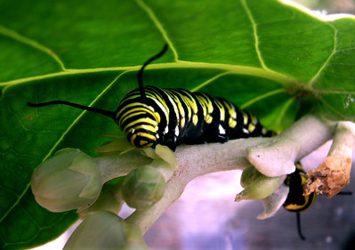 "Monarch caterpillar munching awayThe little eggs hatch in 3 to 5 days and the tiny, 1/8th"" long caterpillar eats its way out of the egg, and then works on eating the crown flower leaf its egg was laid on. species Danaus plexippus"