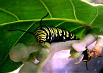 Monarch caterpillar munching awayThe little eggs hatch in 3 to 5 days and the tiny, 1/8th