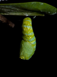 1:43:008    In the pupa or chrysalis stage, the caterpillar spins a silk pad on a twig, leaf, etc, and hangs from this pad by its last pair of prolegs. It hangs upside down in the shape of a 'J', and then molts, leaving itself encased in an articulated green exoskeleton. At this point, hormonal changes occur, leading to the development of a butterfly. The chrysalis darkens (actually becomes transparent) a day before it emerges, and its orange and black wings can be seen.species Danaus plexippus