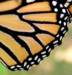 Closeup of a Monarch butterfly wing species Danaus plexippus