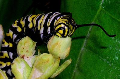Monarch caterpillar species Danaus plexippus