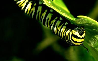 Monarch caterpillar upside down on a leaf species Danaus plexippus