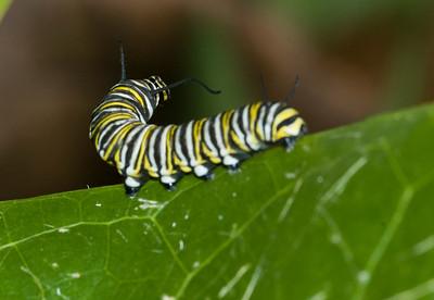 Monarch caterpillarspecies Danaus plexippus