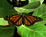 Monarch butterfly in its full beauty