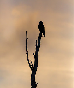 Northern Hawk Owl Slhouette